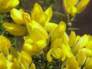 Ulex europaeus-Common Gorse plant
