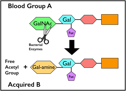 Acquired B biochemistry