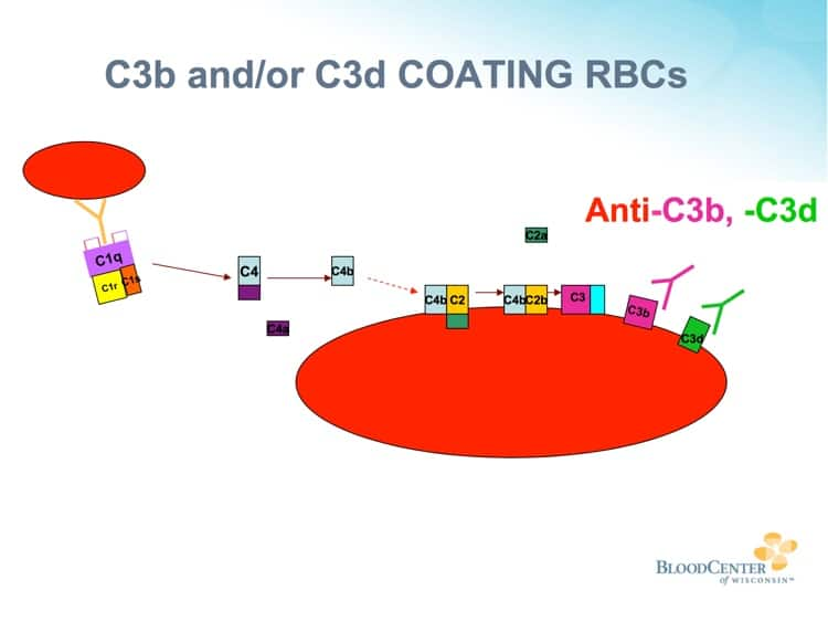 Johnson Slide 7 - Complement deposition on RBCs (note C3b and C3d)