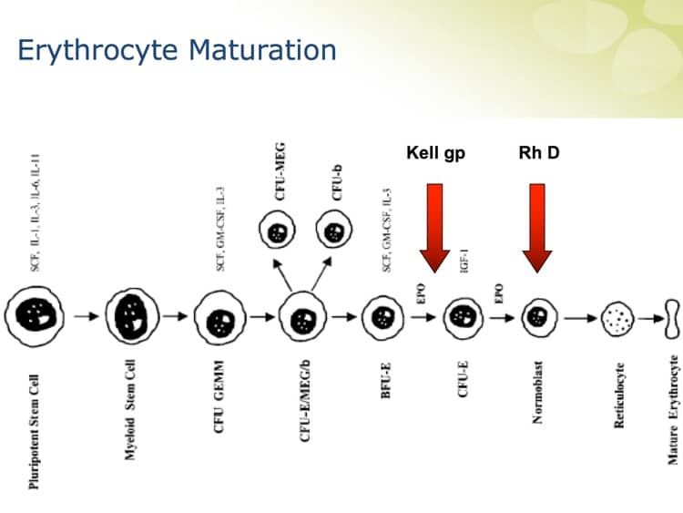 Denomme Slide 9 - RBC maturation (K is earlier than RhD)