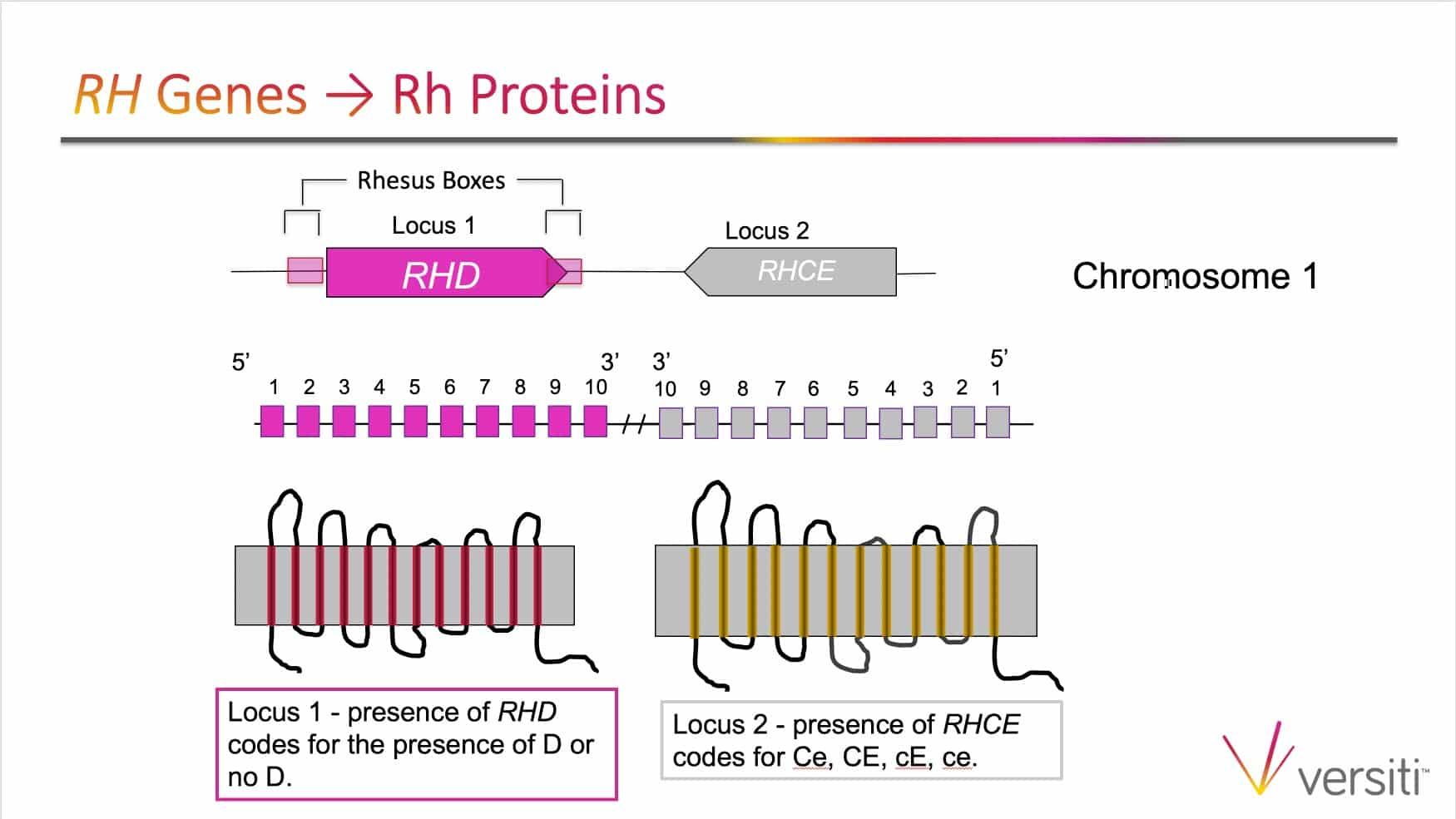 Slide 1: Image of RH alleles on chromosome 1